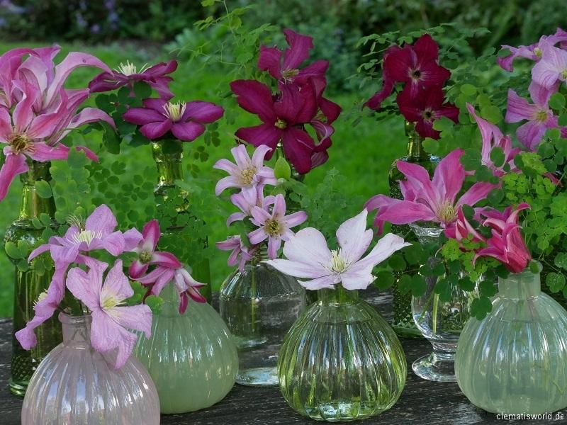Sommerblühende Clematis in rosa und rot