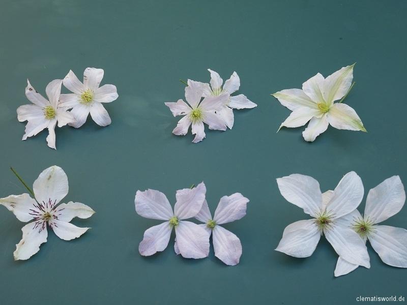 Sommerblühende Clematis in weiß jeweils von links Huldine, Entel, Roko Kolla (oben), Mikla, White Prince Charles, Forever Friends (unten)