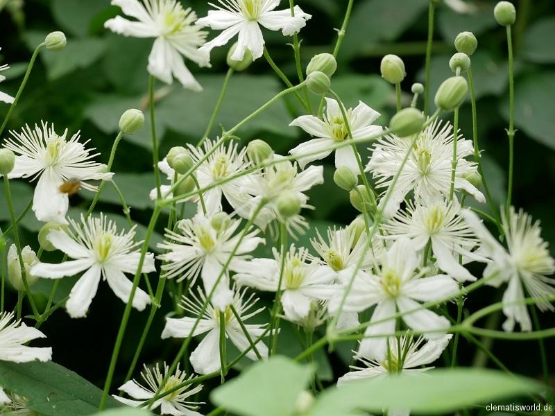 strahlenförmige Blüten bei den Vitalbas