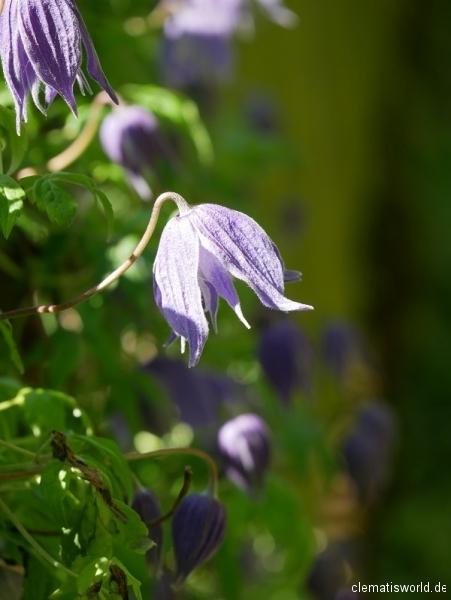 urnenförmige Blüten bei Frances Rivis