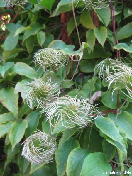 In jungem Zustand sehen die Fruchtstände der Clematis noch wie glatt gebürstet aus.