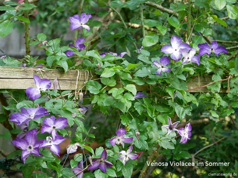 Clematis Venosa Violacea im Sommer