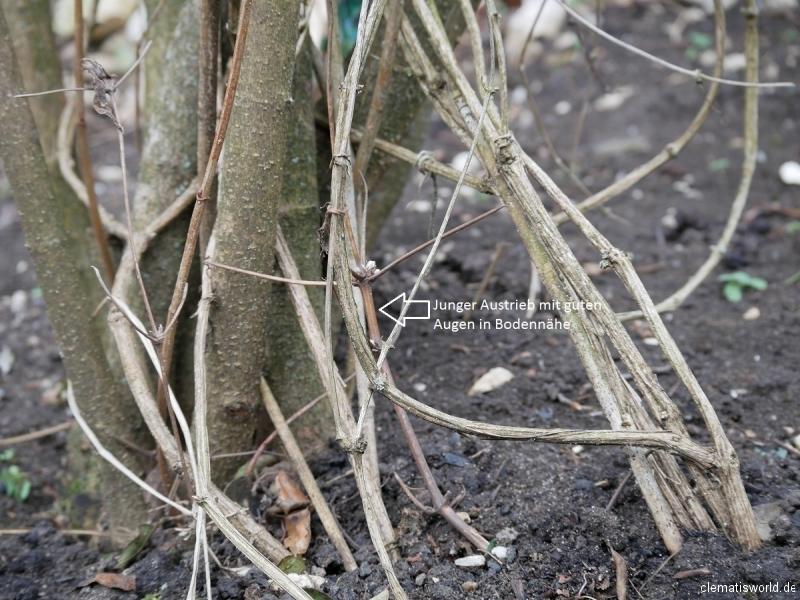 Junger Austrieb mit guten Augen in Bodennähe