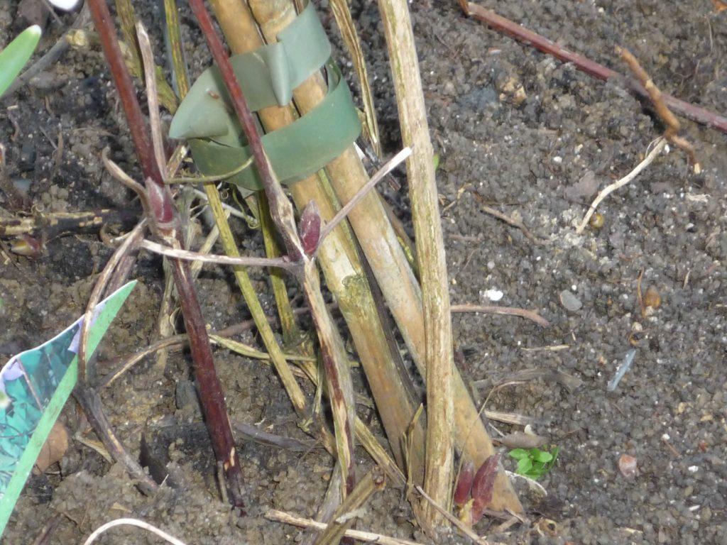Sommerblühende Clematis werden auf ein bis drei Augenpaare zurückgeschnitten.