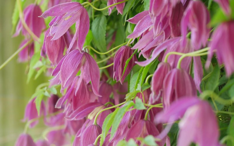 Clematis alpina Ruby