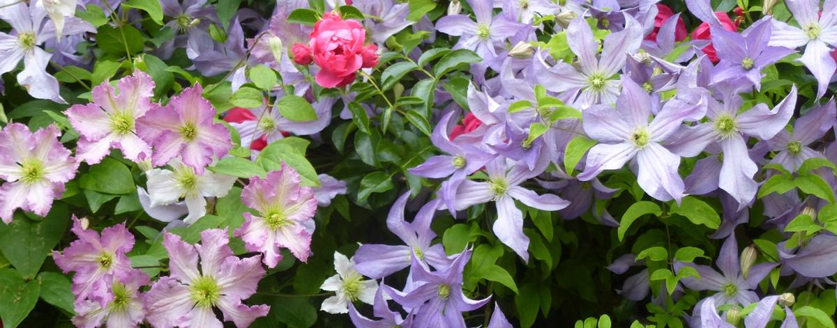 Clematis pflanzen, pflegen, schneiden - die wichtigen Tipps für Ihr blühendes Paradies