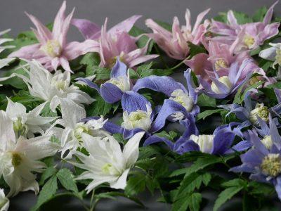 Frühjahrsblühende Clematis - bei den Atragenen findet man häufig die Farben Weiß, Blau und Rosa