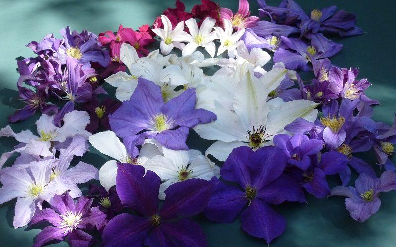 kleine Auswahl an Blütenfarben bei sommerblühenden Clematis