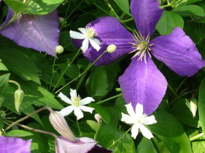 Unterschiedliche Blütengrößen: Clematis Jackmanii und Paul Farges