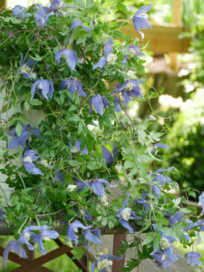 Clematis alpina 'Fances Rivis