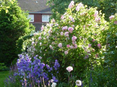 Tag der offenen Gartentür - Rosenblüte im Garten Niemela