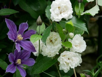 Clematis Arabella und Rose Alba Meidiland