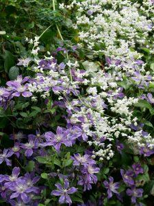 Clematis Arabella mit Thalictrum Splendide White