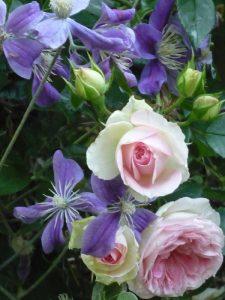 Clematis Arabella und Rose Kurfürstin Sophie
