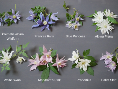 Clematis alpina (atragene) - verschiedene Sorten