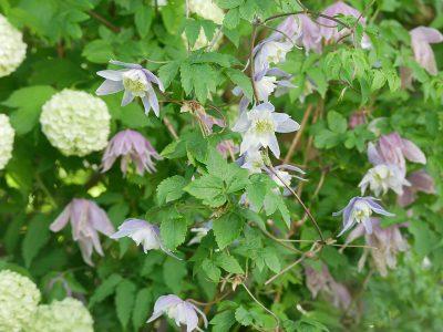 Clematis Ballet Skirt und Blue Princess wachsen in Viburnum Opolus Roseum