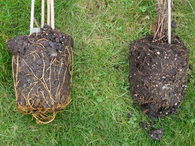 Clematiswurzeln im Vergleich: Hybride (links) und alpina (rechts)