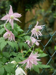 Clematis macropetala Markham's Pink am Maschendrahtzaun