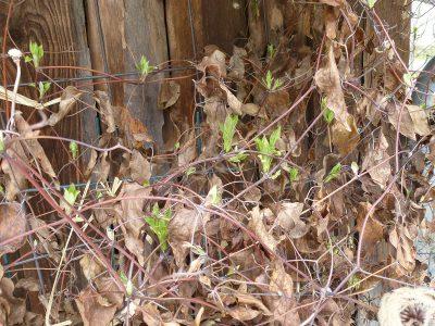 Austrieb Clematis Schnittgruppe 2 - zur Zeit der Schneeglöckchenblüte sind die frischen Triebe schon gut zu erkennen. Zeit für den Rückschnitt