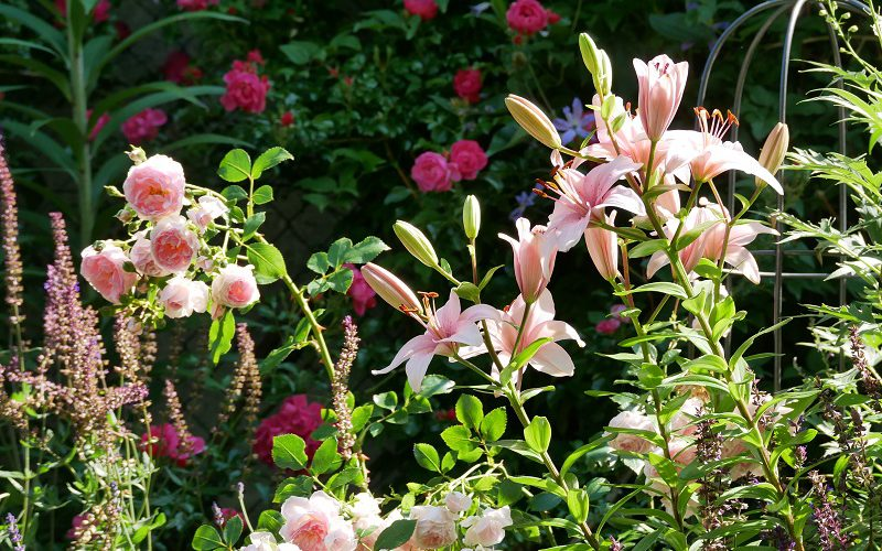Rose Lovely Meidilland mit rosa Lilie, im Hintergrund Rose Heidetraum Plus