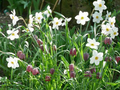 Fritilaria meleagris und Narcissus poeticus