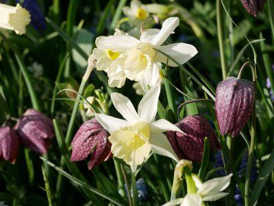 Fritillaria meleagris mit Narcissus cyclamineus February Silver
