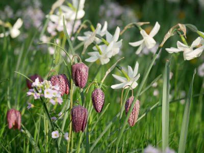 Fritillaria meleagris und Narcissus triandrus Thalia
