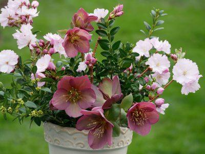 Helleborus Ice 'n Roses Rose mit Kirschblüten