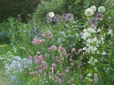 Allium, Akeleien und Waldphlox