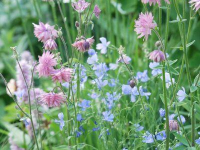 LG Smart Garden Kopie: Aquilegia vulgaris 'Rose Barlow', Linum perenne 'Nanum Saphir'