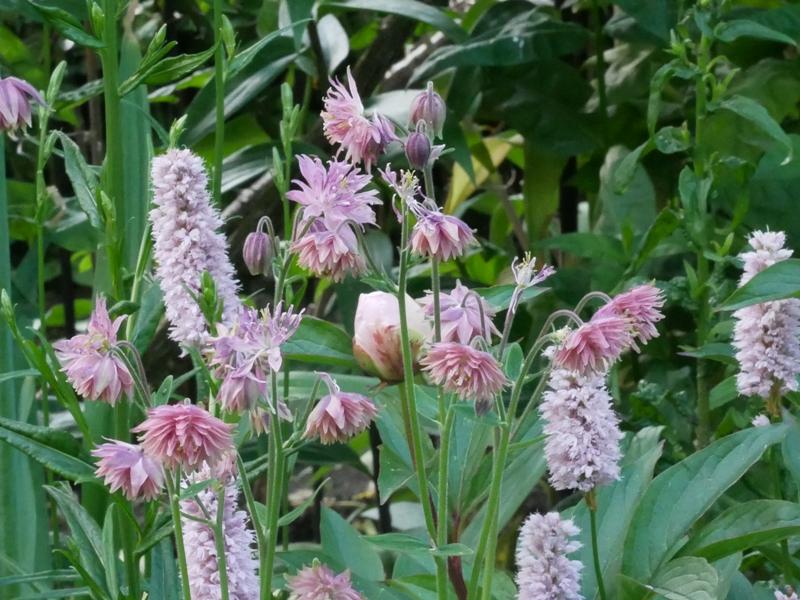 Bistorta officinalis 'Superba', Aquilegia vulgaris 'Rose Barlow'