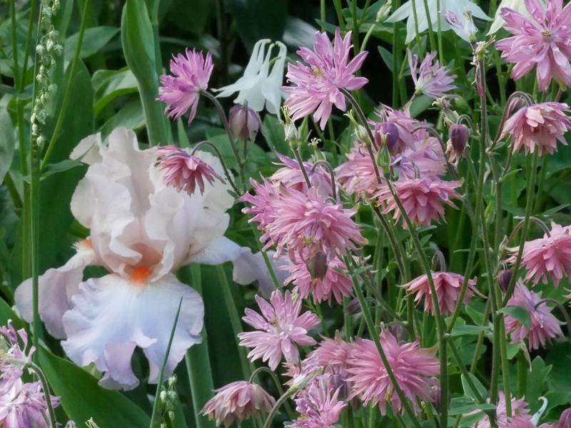 Iris barbata elatior 'Celebration Song', Aquilegia vulgaris 'Rose Barlow'