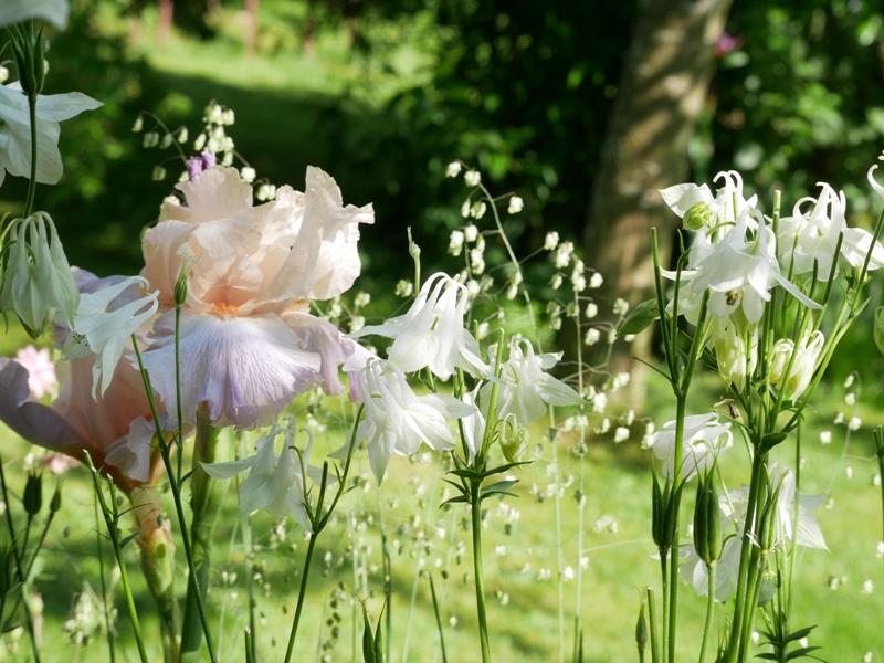 Iris barbata elatior 'Celebration Song', Aquilegia vulgaris 'Alba', Briza media 'Limouzi'