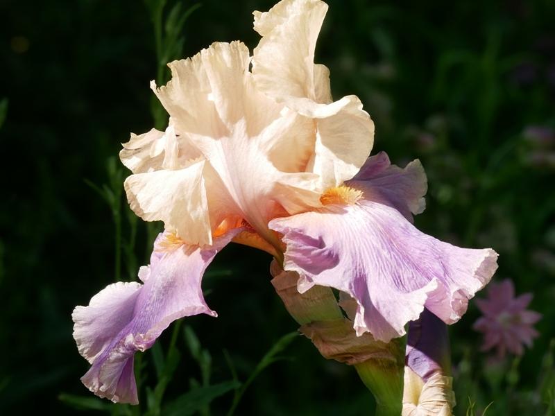 Iris barbata elatior 'Discovered Treasure'