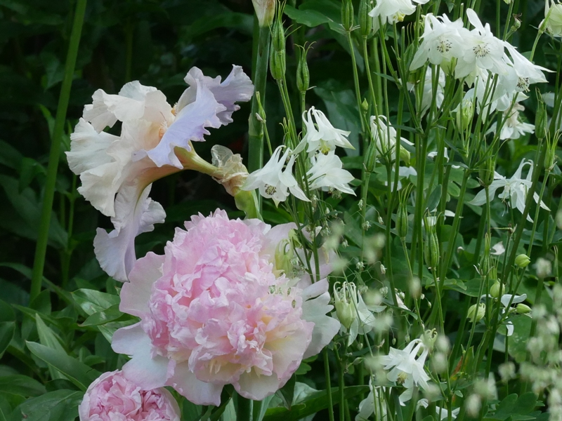 Paeonia lactiflora 'Bella Rosa', Iris barbata elatior 'Celebration Song', Briza media 'Limouzi'