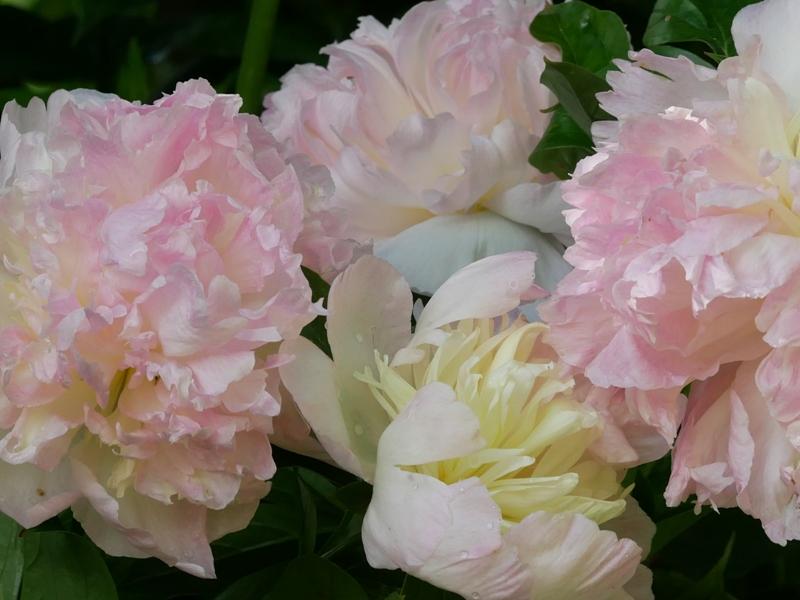 Paeonia lactiflora 'Bella Rosa'