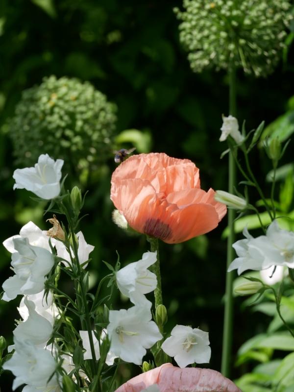 Papaver orientale 'Helen Elisabeth', Campanula persicifolia 'Grandiflora Alba', Samenstände Allium