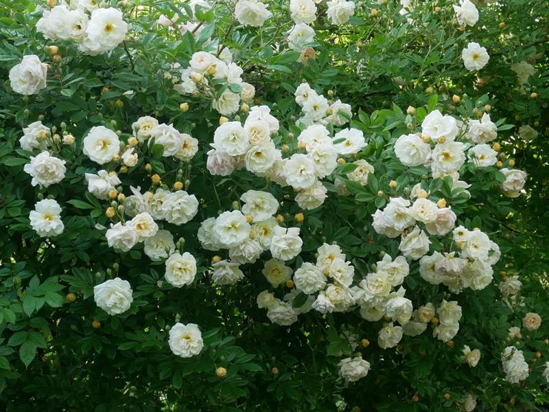 Ghislaine de Féligonde ist eine öfterblühende Ramblerrose