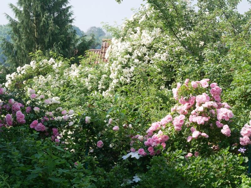 Die rahmweiße Ramblerrose Lykkefund und die Kletterrose Uetersens Rosenprinzessin