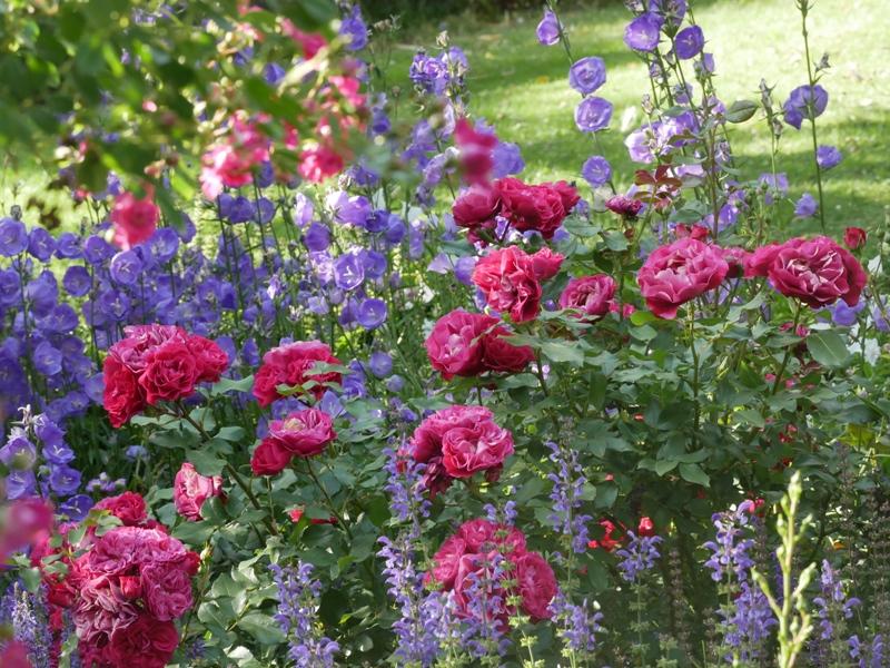 Die richtigen Begleitpflanzen unterstreichen die Schönheit der Königin der Blumen: Die Rose Rouge Meilove mit Campanula persicifolia Blue Bloomers