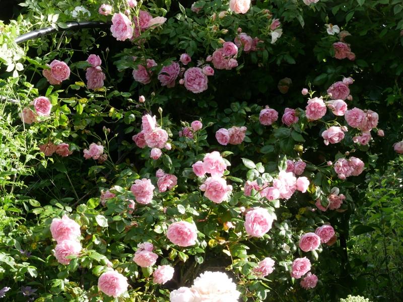 Süßer Duft und üppig gefüllte Blüten sind die Kennzeichen der Kletterrose Sweet Laguna