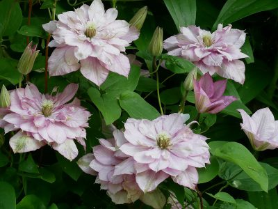 Clematis Hybride 'Innocent Glance'