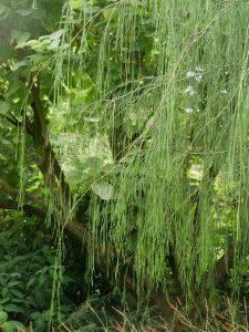 Le Jardin de Valérianes - Gehölzraritäten