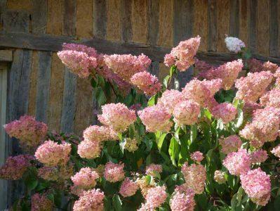 Les Jardins du Pays d'Auge - Ideale Bedingungen lassen die Hortensien in beeindruckende Höhen wachsen