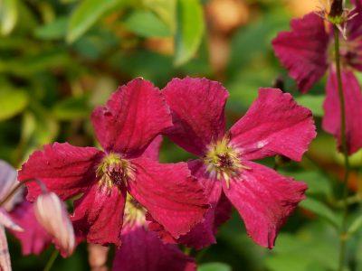 Clematis viticella 'Rubra': Die weinroten Blüten haben eine helle Mitte