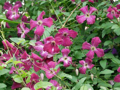 Clematis viticella 'Rubra': Die dunkelroten Blüten haben eine weiße Mitte