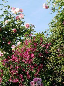 Clematis viticella 'Rubra' zur zweiten Rosenblüte im September