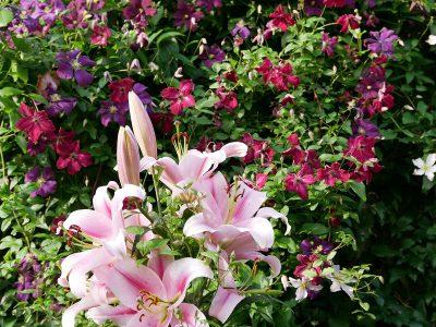 Lilien- und Clematisblüte im Juli