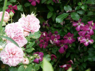 Clematis viticella 'Rubra' und Rose 'Uetersens Rosenprinzessin'