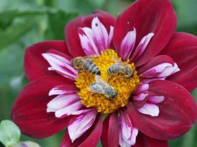 Bienen lieben die ungefüllten Dahlienblüten